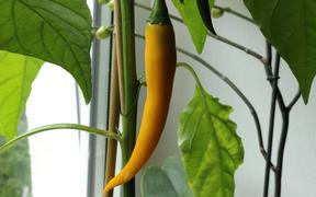 Cayenne Golden Chili