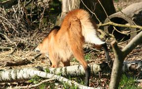 Maned Wolf Digging Champion