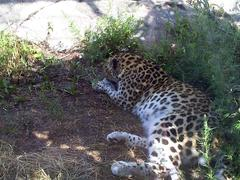 leopard_lying_on_side