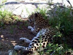 leopard_lying_on_side2