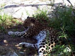 leopard_lying_on_side3