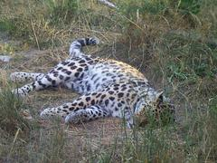 leopard_sleeping2