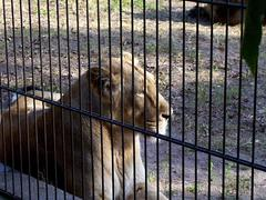 lioness_close_to_fence