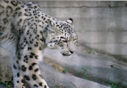 snowleopard_kinda_sleepy