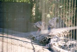 snowleopards_together