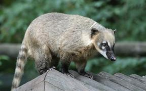 Coati on the rooftop