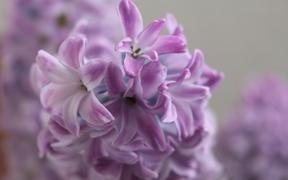 Hyacinth flowers close-up